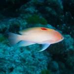 水納島の海底で~ 甘口のカレーパンマンと~ 出会った~   ダイブナッツブログ