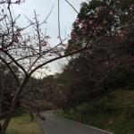 日本一早い桜☆   ダイブナッツブログ