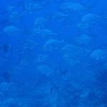 瀬底で見れるアジの群れ!!  ダイブナッツブログ