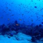 すんごいハナダイ達の群れている水納島の根  ダイブナッツブログ